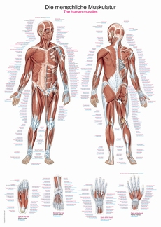 Anatomische poster: Spieren algemeen