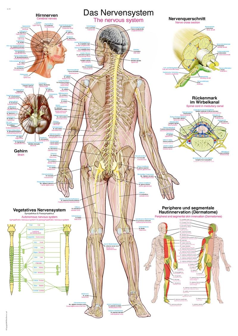 Anatomische poster: Zenuwstelsel 24 x 34 cm